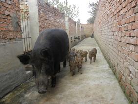 野猪种_纯种野猪特种野猪种365农业网·商务